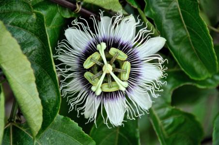 passiflora flowers