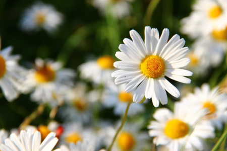 daisies white flower