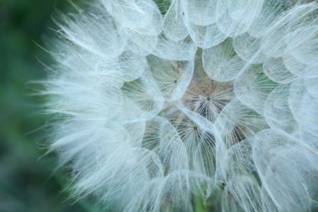 achene wild flower