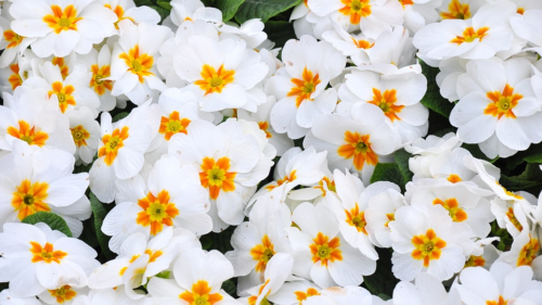 primula spring flower