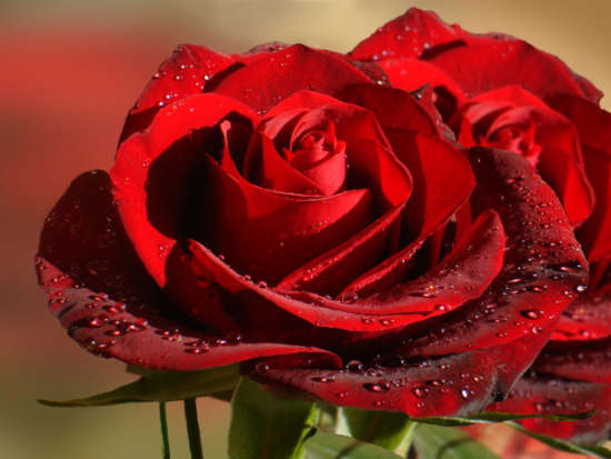 incredible_red_roses