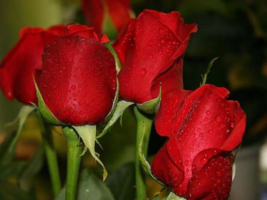 unseen_beautiful_red_roses