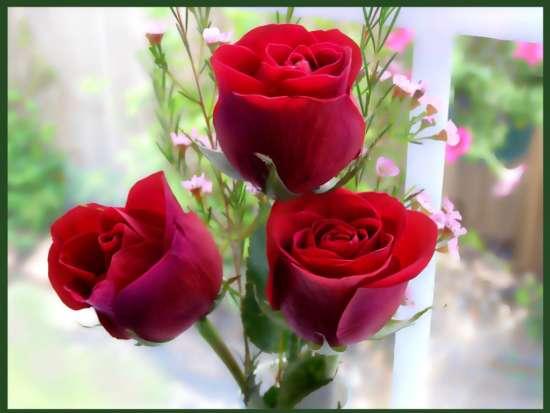 three_cute_red_roses