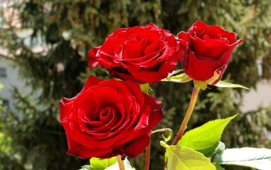 amazing_red_roses_wallpapers