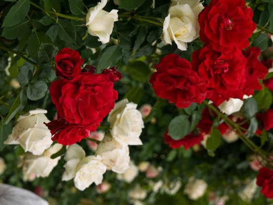 red_roses_in_garden