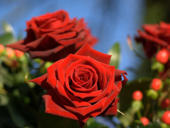passion_red_roses