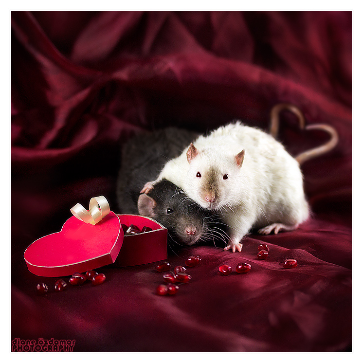 Ratties' Valentine's Day